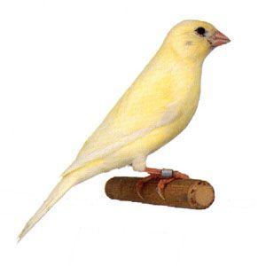 1 B II - желтый ивур шиммель
